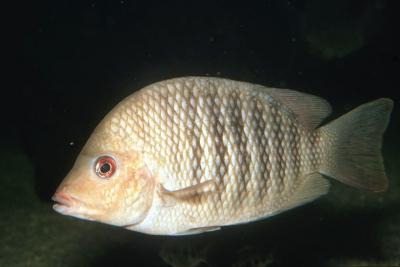 Paretroplus polyactis Cichlidae