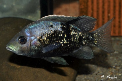 Ptychochromis oligacanthus Cichlidae