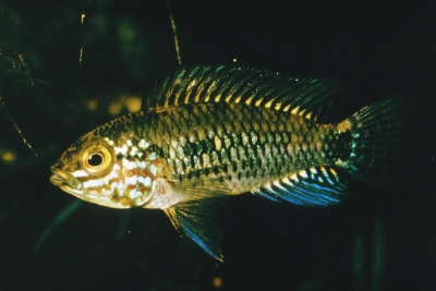 Apistogramma inconspicua Cichlidae