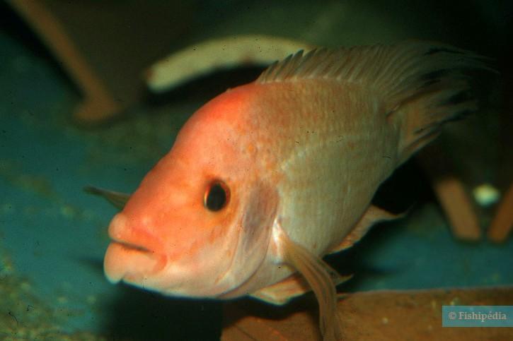 Amphilophus labiatus