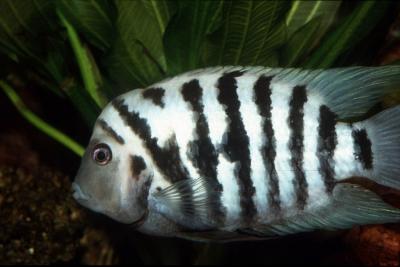 nigro Cichlidae