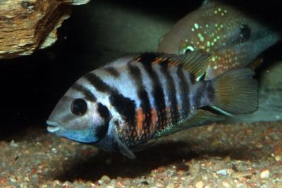 Amatitlania siquia Cichlidae