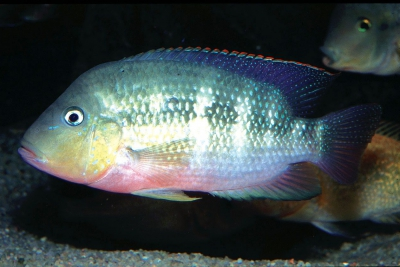 Cichlidé pastel Cichlidae