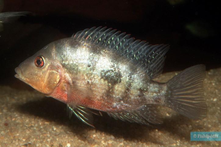 Cribroheros longimanus - longimanus