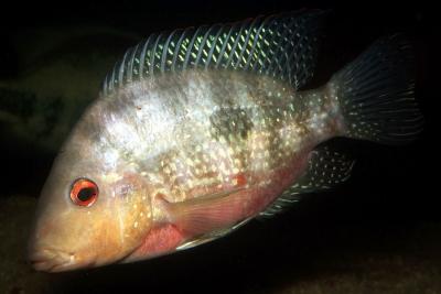 longimanus Cichlidae