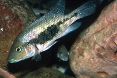 nourissati Cichlidae