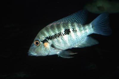 Cribroheros robertsoni Cichlidae