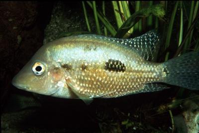 rostratus Cichlidae