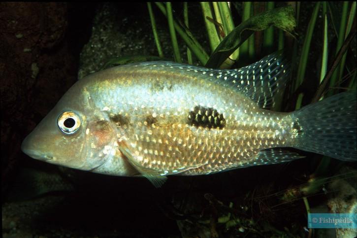 Cribroheros rostratus - rostratus