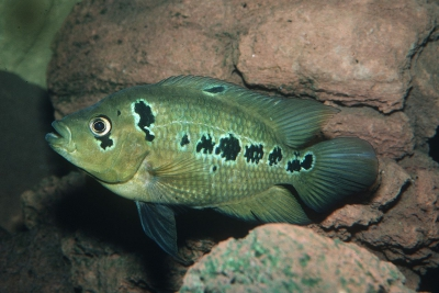trimaculatus Cichlidae