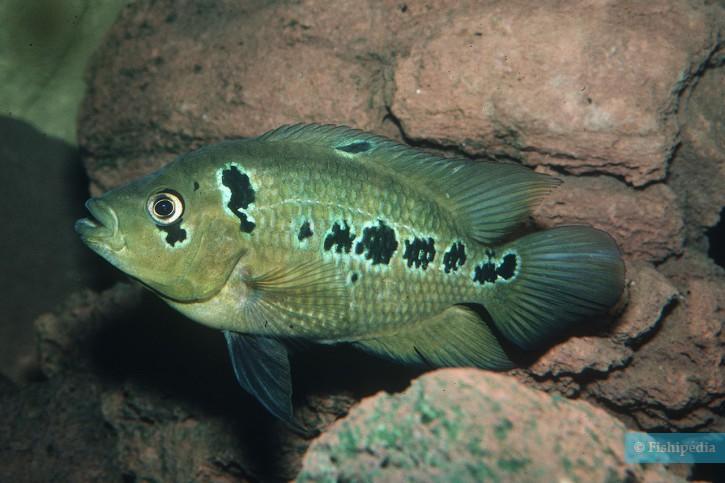 Amphilophus trimaculatus - trimaculatus
