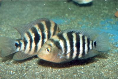 Amphilophus xiloaensis Cichlidae