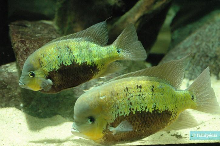 Cincelichthys pearsei - pearsei