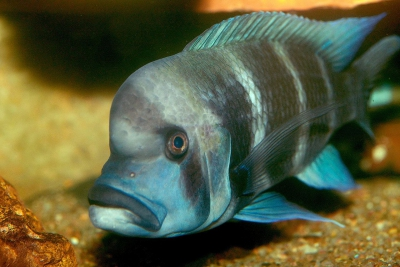 Cypho Cichlidae