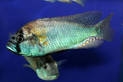 Burtoni Cichlidae