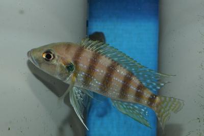 Greenwoodochromis christyi Cichlidae