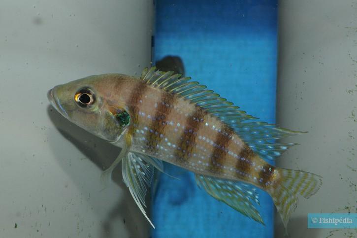 Greenwoodochromis christyi