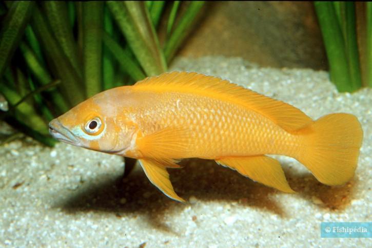 Neolamprologus leleupi - cichlidé citron
