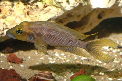 Neolamprologus furcifer Cichlidae