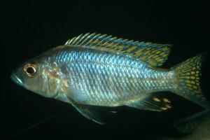 Sciaenochromis ahli