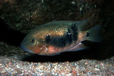 Godmanni Cichlidae