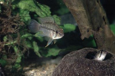 Apistogramma urteagai Cichlidae