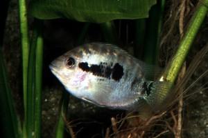 Archocentrus spinosissimus
