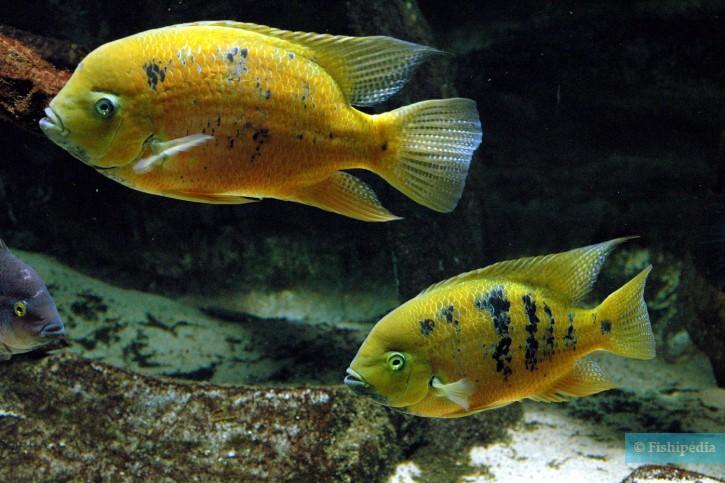 Cincelichthys bocourti - cichlidé d'or
