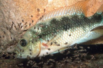 Amphilophus istlanus Cichlidae