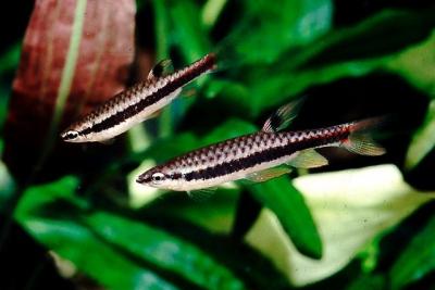 Copella nigrofasciata Lebiasinidae