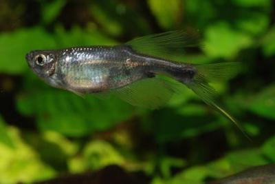 Corynopoma riisei Characidae