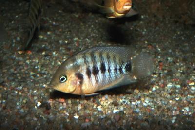 septem Cichlidae