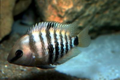 spilurus Cichlidae