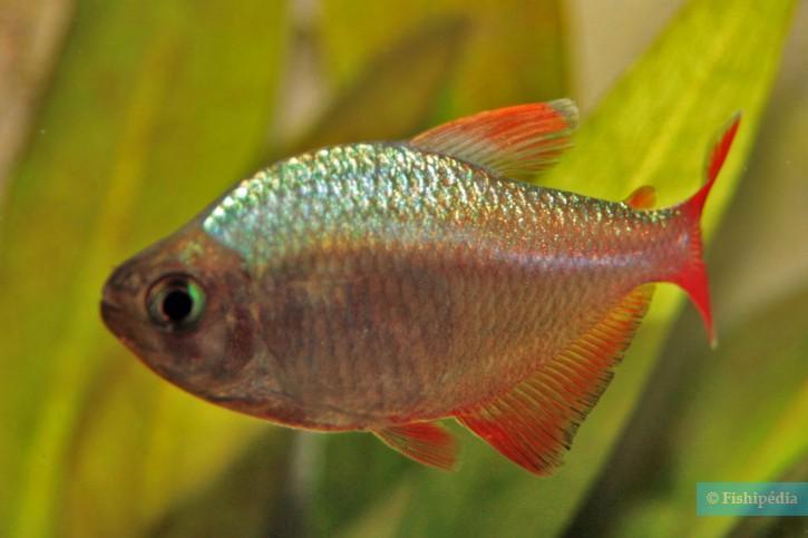 Hyphessobrycon columbianus - Tétra de Colombie