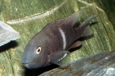 Tropheus du pauvre Cichlidae