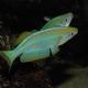 picture of Lamprichthys tanganicanus