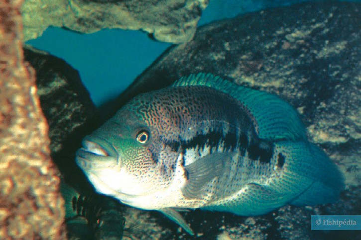 Parachromis dovii - cichlidé loup