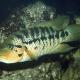 picture of Parachromis motaguensis