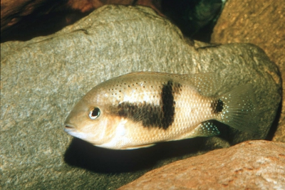 morraja à coin Cichlidae
