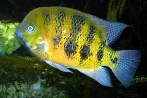 Cincelichthys bocourti