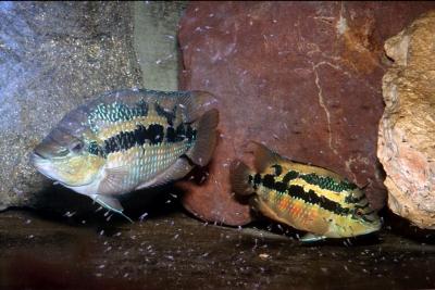 Salvini Cichlidae