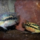 picture of Trichromis salvini