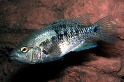Nosferatu steindachneri Cichlidae