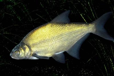 brème commune Cyprinidae