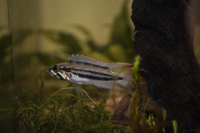 Apistogramma diplotaenia Cichlidae