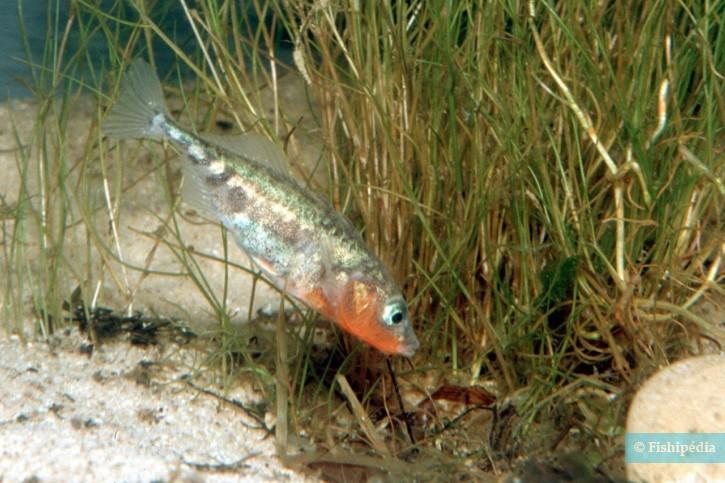 Gasterosteus aculeatus - Epinoche