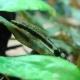 picture of Otocinclus affinis