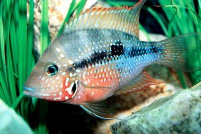 Thorichthys maculipinnis Cichlidae