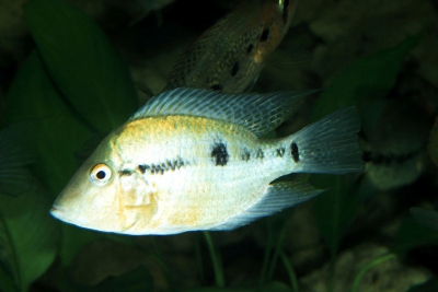 Thorichthys pasionis Cichlidae