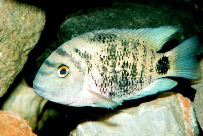 Oscura heterospila Cichlidae